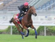 浪琴表香港盃參賽馬匹「快利佳」今早由艾兆禮策騎在沙田馬場草地跑道進行快跳。