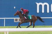 將角逐杜拜司馬經典賽的香港賽駒「威爾頓」,今天早上在美丹馬場的草地跑道進行備戰工作。