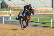 「準備就緒」在美丹馬場的泥地跑道作最後慢跳操練,備戰明日的杜拜世界盃。