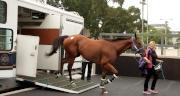 圖 1, 2<br> 「緩衝之計」抵達沙田馬場檢疫馬房。