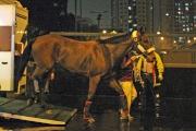 圖1, 2<br> 「蒙古週末」抵達沙田馬場。