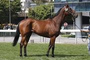 第1號拍賣馬是在紐西蘭培育、父系Savabeel的棗色閹馬。