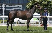 圖五, 六<br> 產自愛爾蘭的第22號拍賣馬,該匹棗色閹馬的父系Kodiac,至今共有28匹子嗣勝出錦標賽,當中包括一級賽盟主「歡喜若狂」。