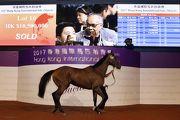 圖一、二、三: 2017香港國際馬匹拍賣會(3月)今晚於沙田馬場馬匹亮相圈舉行,共有29匹未曾出賽的新馬供合資格人士競投。