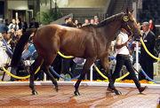 圖四、五、六: 第16號拍賣馬(父系Hussonet、母系Almah)由劉輝以一千零五十萬港元投得,為今次拍賣會成交價最高的一駒。