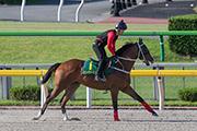 「美麗大師」(圖一) 及「詠彩繽紛」(圖二) 今日均在東京競馬場的泥地跑道進行慢踱操練。