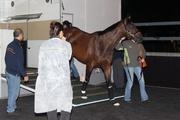 圖一及圖二:國泰航空香港短途錦標獲選參賽澳洲馬匹「繡球花」今日 (十二月一日) 凌晨抵達沙田馬場。